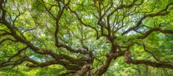 Panorama of twisting branches at Angel Oak Tree