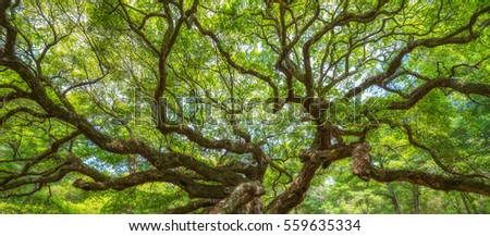 Panorama of twisting branches at Angel Oak Tree  #559635334