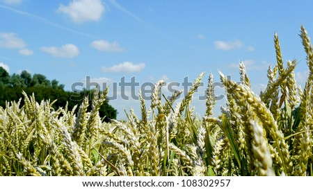 Panorama of wheat cereal in a field against a blue sky in Holland