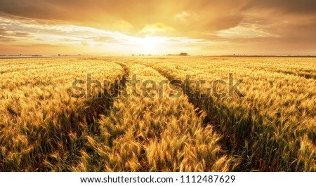 Panorama of wheat field at sunset #1112487629