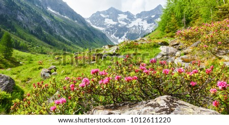 Panorama picture of a mountain landscape with alpine roses