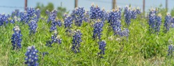 Panorama view close-up selective focus of Bluebonnet wildflower blooming in countryside Bristol, Texas. Colorful state flower of Texas blossom with blurry farm barbed wire fence in background