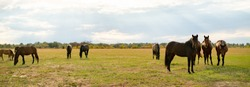 panorama view of some horses in the field on summer day, domestic animals concept