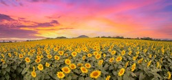 Panorama view of Sunflower blossom field on sunset and have colorful twilight among sky.