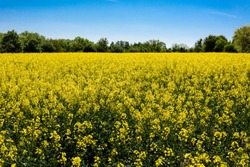 Panorama view of yellow canola field with green trees, horizon and blue sky in the background - concept agriculture farming field nature environment harvest food landscape