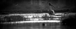 Panorama White Pelicans fishing on shore, near lake water. Pelican on fishing - Water bird