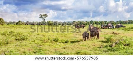 Panorama with elephants and jeeps safari. Sri Lanka
