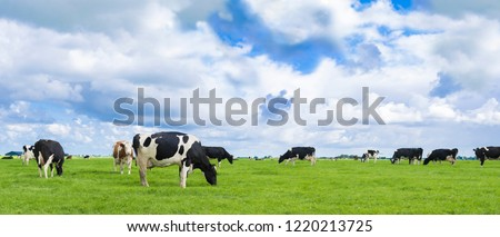 Panorama with Holstein Friesian cows in the Netherlands, beautiful sky.
