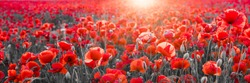 panorama with red poppies, selective color