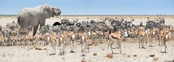 Panoramic african animals scenery. Huge African elephant, Loxodonta africana towering over herds of animals, grouping at waterhole, Etosha, Namibia. Wildlife photography in Namibia.