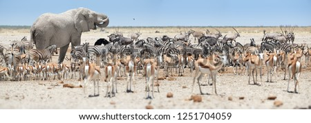 Panoramic african animals scenery. Huge African elephant, Loxodonta africana towering over herds of animals, grouping at waterhole, Etosha, Namibia. Wildlife photography in Namibia.
