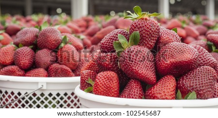 panoramic close up image of freshly picked ripe strawberries ready to be taken to a market