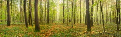 Panoramic Forest of Beech Trees