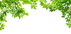 panoramic Green leaves on white background
