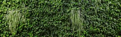 Panoramic Greenery wall texture background with beautiful pattern. Clean environment. Ornamental plant on Eco wall. Organic natural background. Many leaves reduce dust in air.