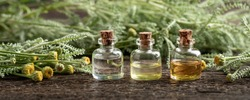 Panoramic header of three essential oil bottles with fresh blooming Santolina chamaecyparissus plant