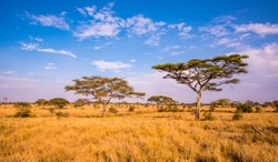 Panoramic image of a lonely acacia tree in Savannah in Serengeti National Park, Tanzania - Safari in Africa