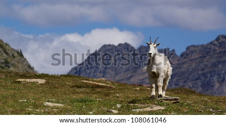 Panoramic image of a Mountain Goat in classic alpine habitat, Glacier National Park
