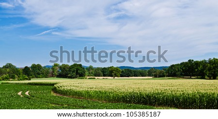 Panoramic image of curved rows of corn and soybeans growing in summer under cloudy blue sky