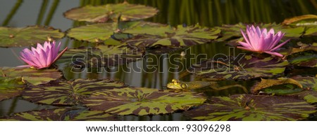 panoramic image of frog in a lily pond with two water lily blooms