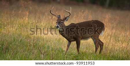 Panoramic image of Male deer or Buck standing in a meadow looking to the left with late afternoon light.
