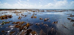 Panoramic image of ocean and brown algaes (oarweed) during low tide with one person walking at the background