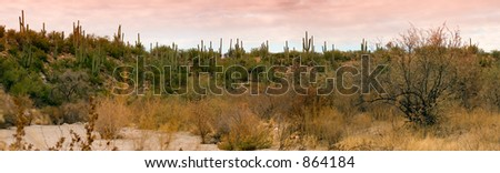 Panoramic image Saguaro Hillside Catalina AZ(exclusive at shutterstock)