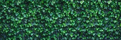 Panoramic ivy green wall surface for decoration design. Natural background texture. Spring Summer Floral banner. Interior vertical garden. Urban jungle indoor gardening.