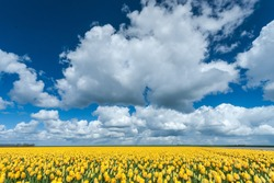 panoramic landscape in Dutch polder with yellow tulips, blue sky and big white clouds