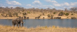 Panoramic landscape view of african elephants (Loxodanta africana) family herd drinking at a waterhole dam in Kruger National Park, South Africa