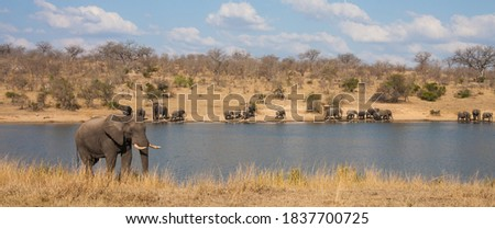 Panoramic landscape view of african elephants (Loxodanta africana) family herd drinking at a waterhole dam in Kruger National Park, South Africa Stock photo ©
