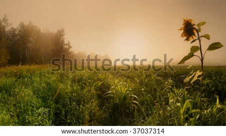 Panoramic landscape with corn field and sunflower in misty morning