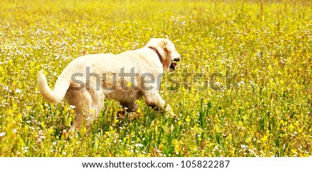 panoramic landscape with dog in yellow field