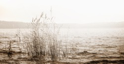 Panoramic landscape with reeds in a lake water. Black white.