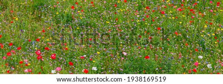 Panoramic Multicolored flowering summer meadow with red pink poppy flowers, blue cornflowers. Wild summer flowers field. Summer landscape nature background with beautiful flowers. Banner Photo stock ©