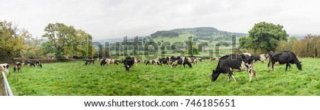 Panoramic of Dairy cows grazing on the autumn grass