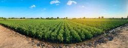 Panoramic photo of a beautiful agricultural view with potato plantations on the farm on a sunny day. Agriculture and farming. Selective focus