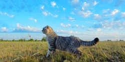 Panoramic photo of a grey Scottish fold cat stands on the grass against a blue cloudy sky. Pets. Copy space for text.