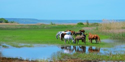Panoramic photo of a herd of horses grazing by the water. ... grazing in a meadow by the water. Agriculture, horse breeding. Landscape. Space for the text.