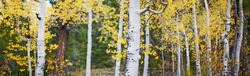 panoramic photo of aspen trees with yellow leaves in the fall outside in the forest