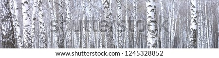 panoramic photo of beautiful scene with birches in autumn birch forest in november among other birches in birch grove #1245328852