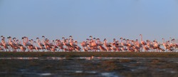 Panoramic photo of bright pink african water birds, Lesser Flamingos, Phoenicoparrus minor,  walking during low tide on the shore of Walvis Bay, Namibia. Pink flamingos in vivid colors of morning sun.