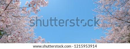 Panoramic photo of cherry blossom.SAKURA. ストックフォト ©