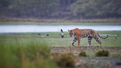 Panoramic photo of wild Bengal tiger, Panthera tigris in heavy rain. Tigress against lake.  Tiger and two peewits in its natural habitat.Ranthambore National Park, Rajasthan, India