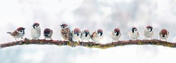 panoramic photo with a flock of birds sparrows sitting on a branch on a Christmas winter snow day