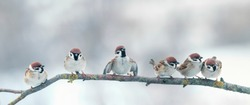 panoramic photo with a group of small funny birds sparrows sitting on branch in the winter Park