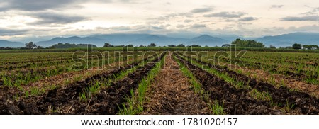 Panoramic photography of a sugar cane cultivation in Valle del Cauca state, Colombia, with the Andes mountains background.    Foto stock ©