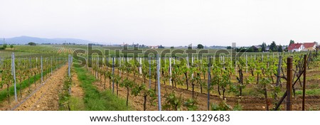 panoramic picture of rows of young grapes in wineyards of southen Germany region Rheinland Pfalz #1329683