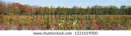 Panoramic picture, partly already defoliated autumnal row of trees. In the background forest. In the blurred foreground, plants of a blueberry plantation