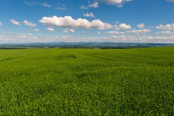 Panoramic rural landscape with idyllic vast green barley fields on hills and trails as lines leading to trees on the horizon, with deep blue sky and fluffy white clouds czech
